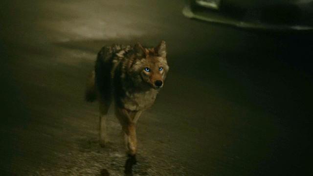 Shelley-Hennig-Malia-coyote-form-Teen-Wolf-Season-6-Episode-1-Memory-Lost.jpg
